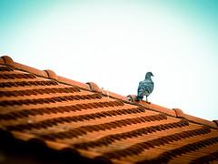 Bird on my roof
